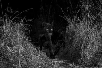 В Африке впервые за 100 лет запечатлели черного леопарда