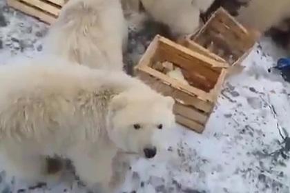 Мусоросжигательный завод на Новой Земле построят раньше из-за нашествия медведей