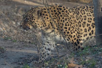 Ручной леопард сбежал от хозяина и напал на школьников и учителя