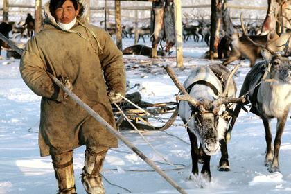 На Таймыре запретили срезать рога с дикого северного оленя