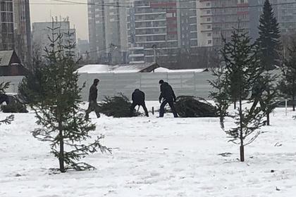 Красноярск озеленили срубленными соснами
