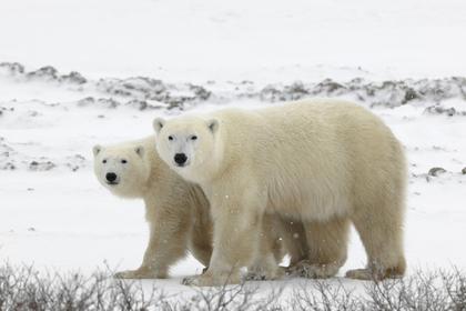 Белые медведи прекратили оккупацию поселка на Новой Земле и ушли