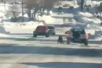 Российские полицейские привязали собаку к машине и устроили ей тренировку
