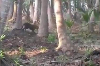 Леопард бесчинствовал две недели и ранил шесть человек