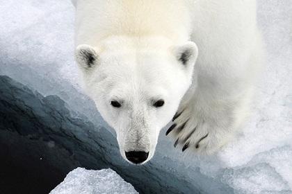 Экологи предсказали повторное нашествие белых медведей на Новой Земле