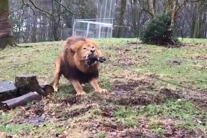 Зоопарк предложил посетителям поиграть со львами и попал под шквал критики