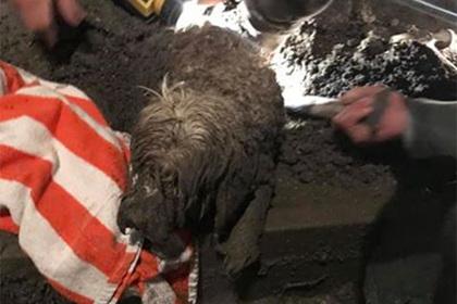 Собака застряла в цементе и чудом выжила