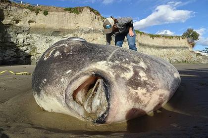 Самую тяжелую в мире рыбу впервые нашли в США