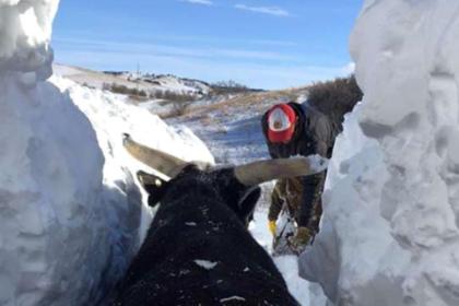Метель вынудила фермеров откапывать заживо погребенных в снегу коров