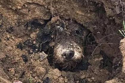 Такса забралась в кроличью нору и пять дней блуждала под землей