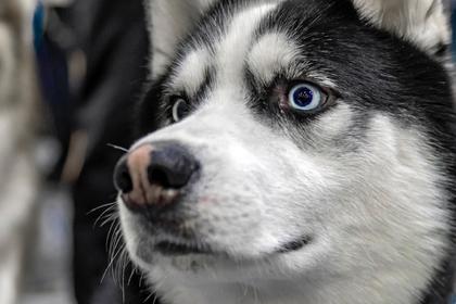 Трансатлантический перелет собаки закончился трагедией