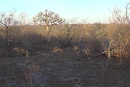 Битва львиц со взрослым львом за жизнь детенышей попала на видео