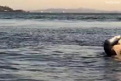 Смертельная схватка морского льва и акулы попала на видео
