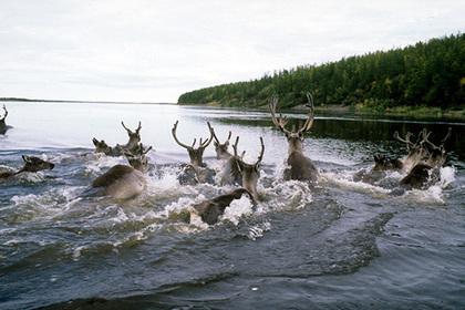 Популяция диких оленей на Ямале удвоилась за четыре года
