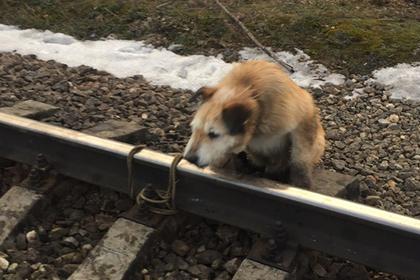 Машинист остановил поезд и спас привязанную к рельсам собаку