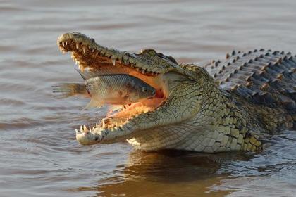 Голодный крокодил устроил схватку с рыбаками за улов