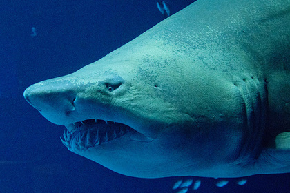 Акула снова напала на купальщика на Большом барьерном рифе
