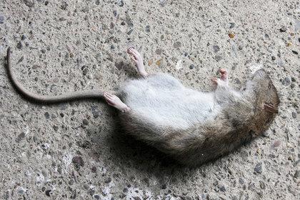 Крыс привлекли к контрабанде наркотиков