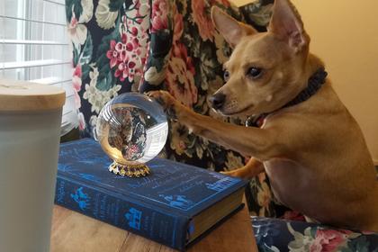 Смотрящая в хрустальный шар собака-провидец развеселила пользователей сети