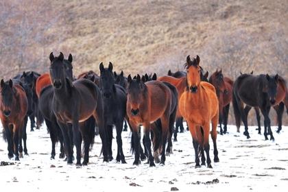 Россиянин украл табун лошадей и пошел под суд