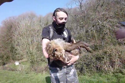 Зоозащитники попытались спасти лису от охотничьих псов и потерпели неудачу