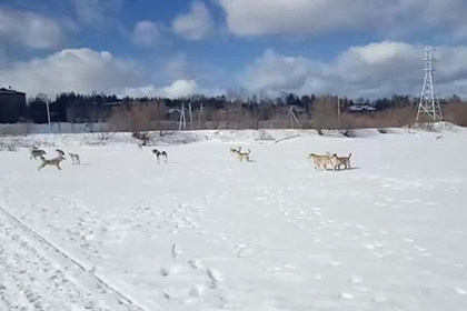 Российскому школьнику пришлось отбиваться от стаи бездомных собак лыжной палкой