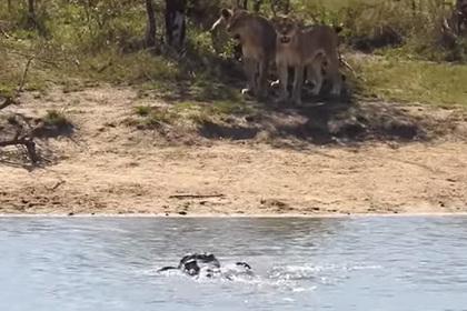 Стадо помогло старому буйволу отбиться от львов и крокодилов