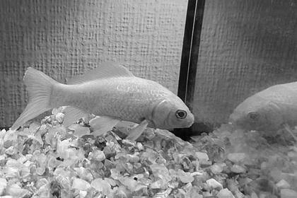 Золотая рыбка умерла в 44 года