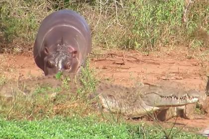 Суровый буйвол наказал нахального бегемота за обиженных крокодилов