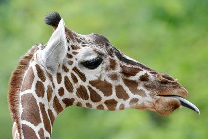 Жирафу в зоопарке попытались скормить пачку денег