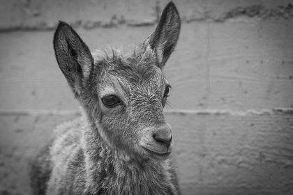 Зоопарк обратился к россиянам от имени закормленного до смерти козленка