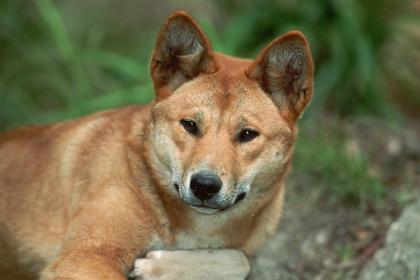 Собака динго выкрала у родителей годовалого ребенка