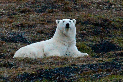 Заблудившийся на Камчатке белый медведь улетит на Чукотку на вертолете