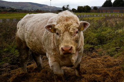 Россия запретила поставки спермы быков и баранов