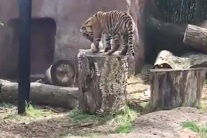 Редкий тигр напал на сотрудницу зоопарка и покалечил ее