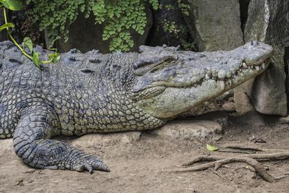 Крокодила-убийцу нашли с мертвым водолазом в пасти