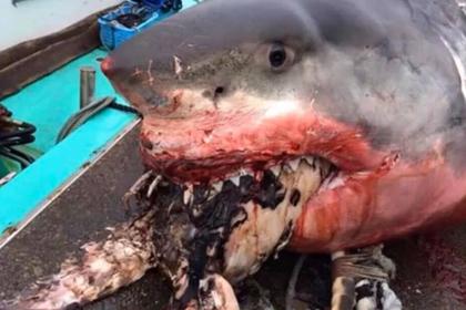 Гигантская белая акула подавилась черепахой и умерла