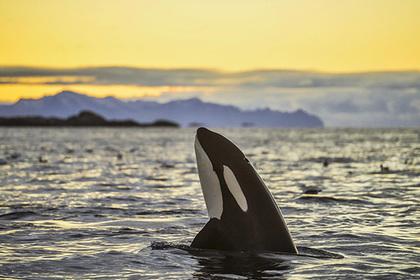 Печень белых акул оказалась главным лакомством косаток