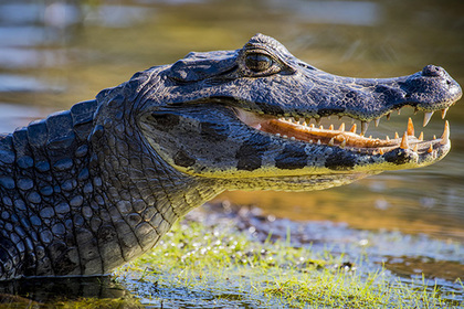 Огромный крокодил убил рыботорговца на глазах у его брата