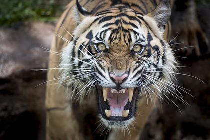 Тигр растерзал мужчину