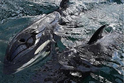 Зоозащитников и журналистов уличили в нагнетании ситуации с «китовой тюрьмой»