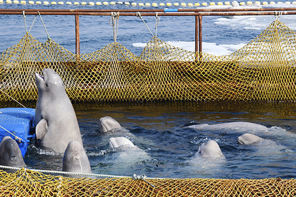 Владелец косаток и белух отказался выпускать их из «китовой тюрьмы»