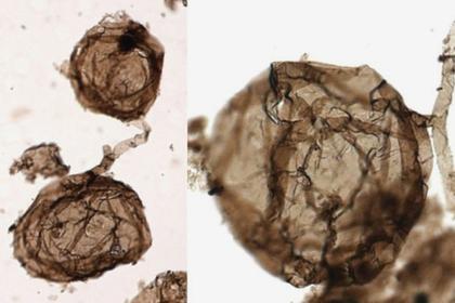 Открыты самые древние сложные организмы на Земле