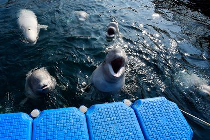 Владелец «китовой тюрьмы» захотел продать Китаю моржей