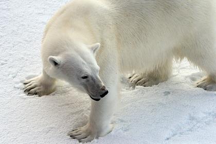 В арктических поселках усилят «медвежьи патрули»