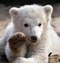 Медвежонок Кнут. Фото (c)AFP
