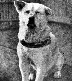 Хатико в 1935 году