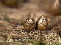 Слизевик Lycogala conicum. Фото с сайта uark.edu