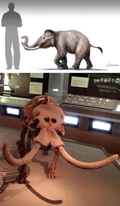 Мамонт с острова Крит (вверху), реконструкция, Изображение Victor Leshyk; Скелет самого маленького карликового слона Фото Giovanni Dall'Orto