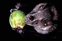 Питающаяся фруктами летучая мышь Artibeus jamaicensis. Фото с сайта si.edu